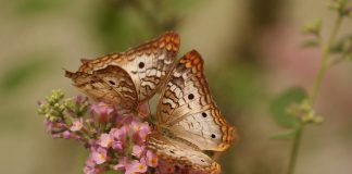 Butterfly Butterflies